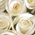Λευκό τριαντάφυλλο